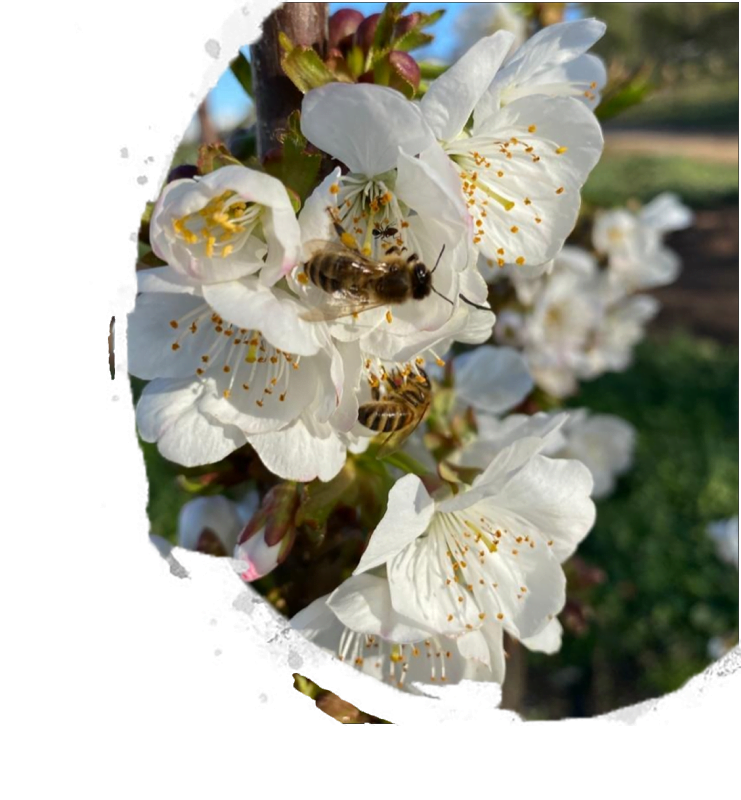 bees on cherry blossoms