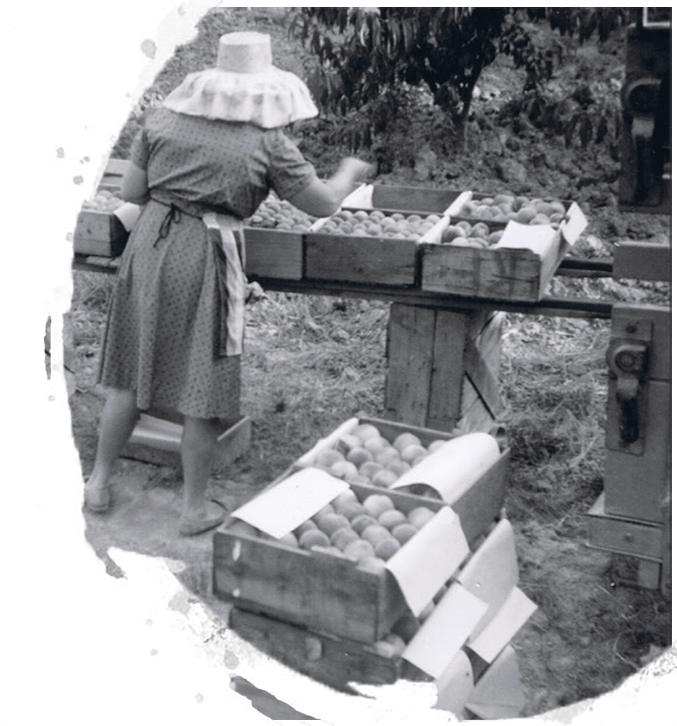 woman packing cherries